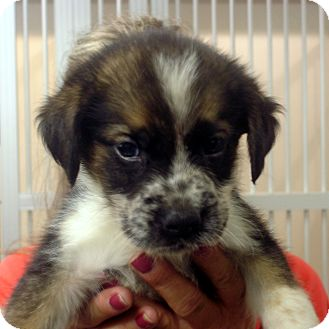 Border Collie/Australian Shepherd Mix Puppy for adoption in baltimore, Maryland - Shep