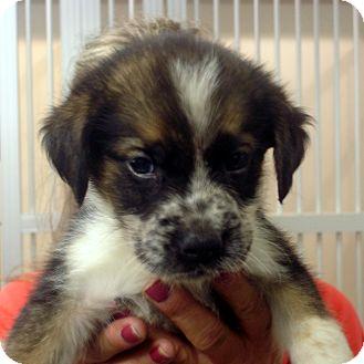 American Eskimo Dogs For Sale Baltimore Md