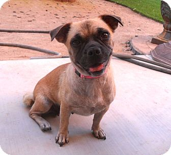 Pug Mix Dog for adoption in Phoenix, Arizona - Phoebe
