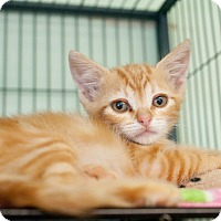 Adopt A Pet :: Linguine - Shelton, WA