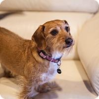 Adopt A Pet :: Poupette - Vaudreuil-Dorion, QC