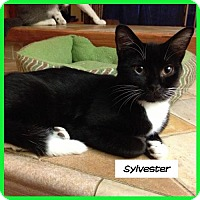 Domestic Shorthair Cat for adoption in Miami, Florida - Sylvester