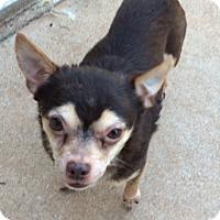 Adopt A Pet :: Little Max - Edmond, OK