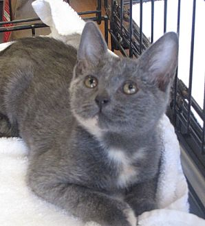 Domestic Shorthair Cat for adoption in Berkeley Hts, New Jersey - Aubrey