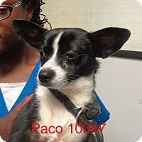 Adopt A Pet :: Paco - baltimore, MD