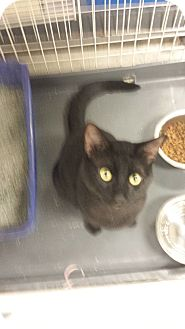 American Shorthair Cat for adoption in Chicago, Illinois - Moon