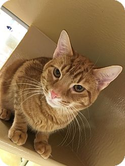 Domestic Shorthair Cat for adoption in Covington, Kentucky - Baker