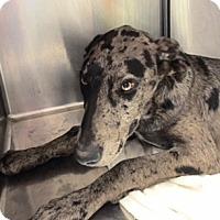 Adopt A Pet :: Merlin - Rancho Cucamonga, CA