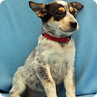 Adopt A Pet :: Wendi - Westminster, CO