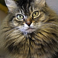Domestic Mediumhair Cat for adoption in Portland, Oregon - Midas