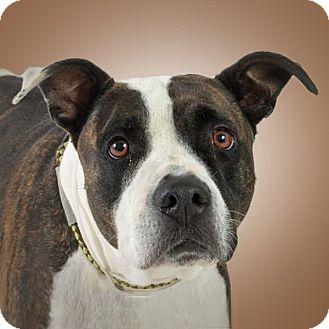 Pit Bull Terrier Mix Dog for adoption in Prescott, Arizona - Amelia