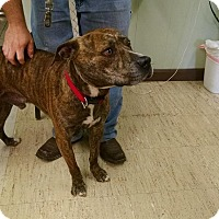 American Staffordshire Terrier Mix Dog for adoption in Mt. Vernon, Illinois - Goose