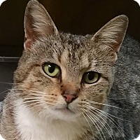 Domestic Shorthair Cat for adoption in Adrian, Michigan - Foxy