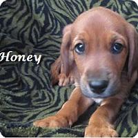 Adopt A Pet :: Honey - Bartonsville, PA
