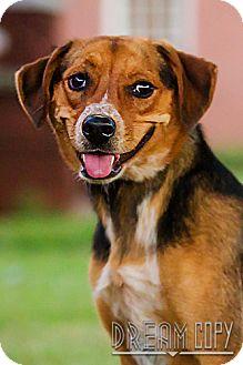 Beagle/Hound (Unknown Type) Mix Dog for adoption in Owensboro, Kentucky - Pixie - DRD program