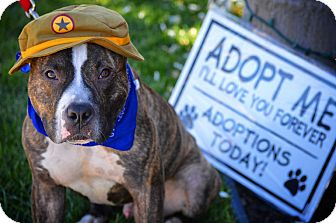 Pit Bull Terrier Dog for adoption in Redondo Beach, California - Magic Mike!