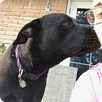 Labrador Retriever Mix Dog for adoption in Houston, Texas - Willy