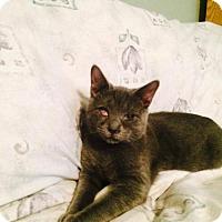 Domestic Shorthair Kitten for adoption in Trenton, New Jersey - Poppet