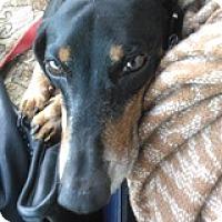Adopt A Pet :: Colin Cockpit - Houston, TX