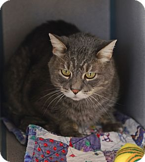 Domestic Mediumhair Cat for adoption in Gardnerville, Nevada - Rocco