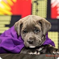 Adopt A Pet :: Storm - Glastonbury, CT