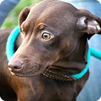 Adopt A Pet :: Bey~meet me~ - Glastonbury, CT