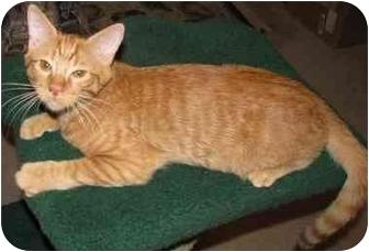 Domestic Shorthair Kitten for adoption in Mesa, Arizona - Sahara
