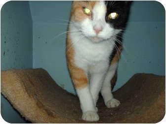 Calico Cat for adoption in Hampton, Connecticut - Cali