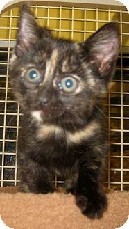 British Shorthair Kitten for adoption in Dallas, Texas - Essex