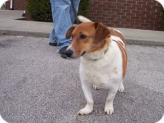 Basset Hound/Jack Russell Terrier Mix Dog for adoption in Germantown, Maryland - Bella