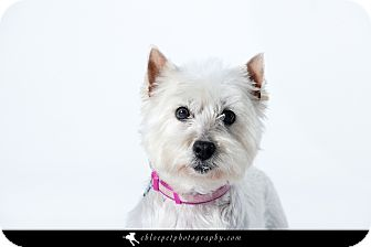 Westie, West Highland White Terrier Dog for adoption in Omaha, Nebraska - Angel