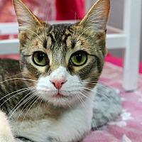 Domestic Shorthair Cat for adoption in Wichita Falls, Texas - Toby