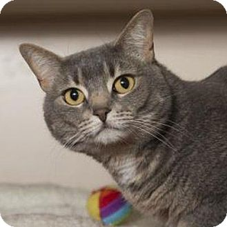 Domestic Shorthair Cat for adoption in Denver, Colorado - Chanel