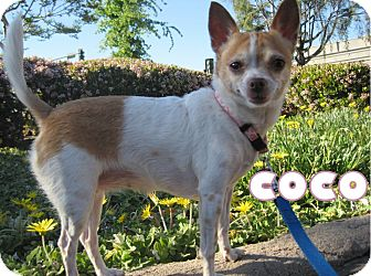 Chihuahua Mix Dog for adoption in Alhambra, California - Coco