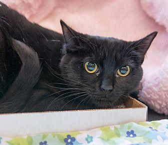 Domestic Shorthair Kitten for adoption in New York, New York - Crystal