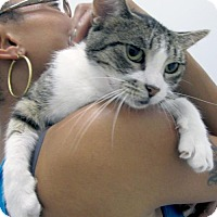 Domestic Shorthair Cat for adoption in Brooklyn, New York - Nibblet: A Tabby Darling