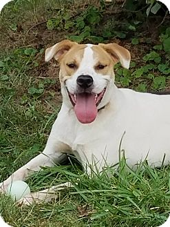 Hound (Unknown Type)/Labrador Retriever Mix Dog for adoption in Mount Holly, New Jersey - Dale