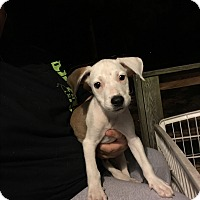 Hound (Unknown Type)/Boxer Mix Puppy for adoption in Garner, North Carolina - Greg