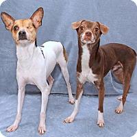 Rat Terrier Mix Dog for adoption in Encinitas, California - Baxter & Hershey (Bonded Pair)