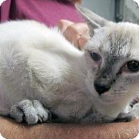 Adopt A Pet :: Sami the Siamese - Brooklyn, NY