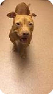 Bulldog Mix Dog for adoption in Columbus, Georgia - Haus 4479
