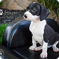 Labrador Retriever Mix Puppy for adoption in Newport, Kentucky - Princess Jasmine