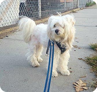 Maltese Dog for adoption in Bronx, New York - Mambo