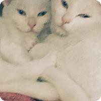 Adopt A Pet :: Ivory n harmony - Whitestone, NY