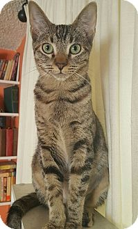 American Shorthair Kitten for adoption in Studio City, California - Vera – Tabby Girl