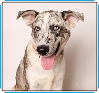 Catahoula Leopard Dog/Australian Kelpie Mix Dog for adoption in Glendale, Arizona - The Dude