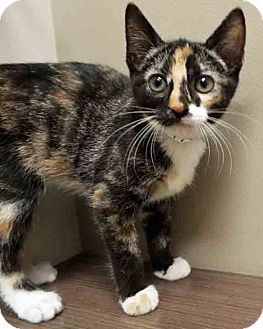 Calico Kitten for adoption in Hinsdale, Illinois - ADOPTED!!!   Henry