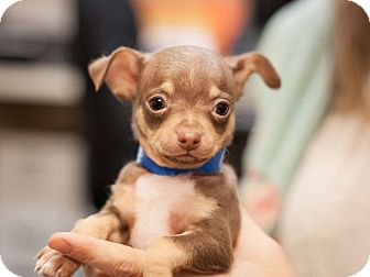 Miniature Pinscher Mix Puppy for adoption in Dallas, Texas - mickey