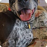 Border Collie/Labrador Retriever Mix Dog for adoption in Apache Junction, Arizona - Hans