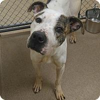 Adopt A Pet :: 1-12 Layla - Triadelphia, WV